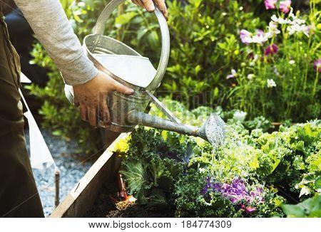 Adult Farmer Man Watering Vegetable