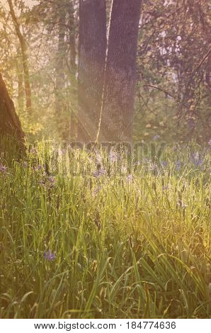 Blue camas flowers in a forest meadow with soft light rays and vintage effect