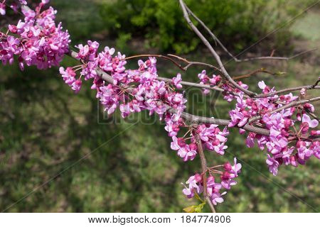 Close Up Of Pink Flowers Of Eastern Redbud