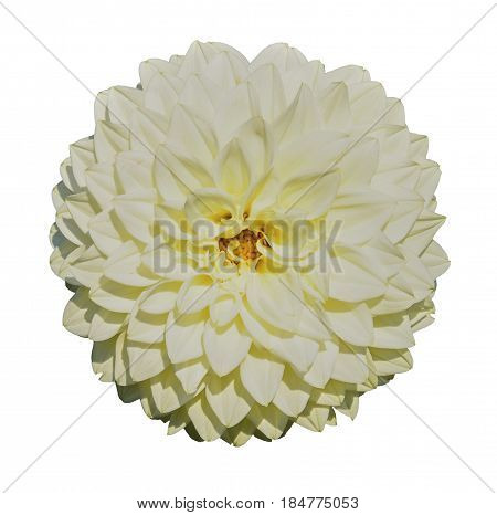 Beautiful tender white dahlia. Isolated on white background
