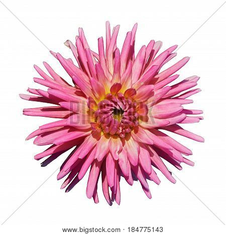 Beautiful pink yellow dahlia. Isolated on white background