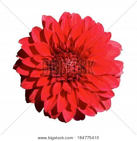 Beautiful red dahlia. Isolated on a white background