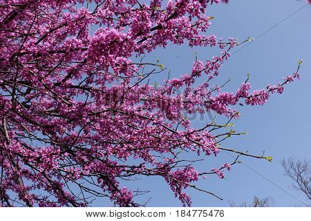 Pink flowers on braches of cercis against the sky