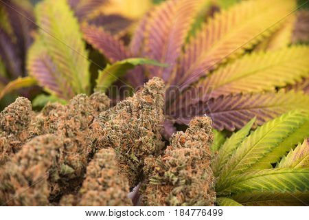 Detail of cannabis buds (green crack strain) with colorful leaves - Medical marijuana background