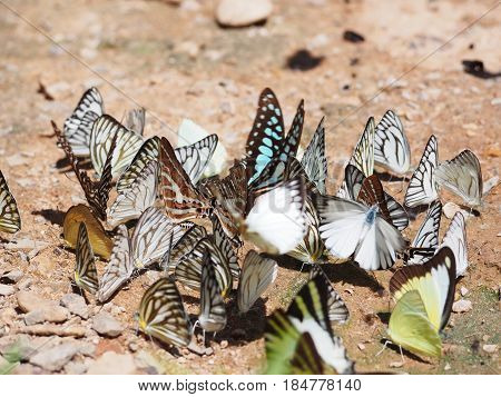 Group of beautiful butterfly on the ground