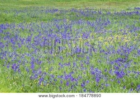 Beautiful meadow of blue camas flowers in green grass