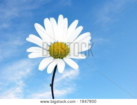 A Beautiful Daisy In The Sky
