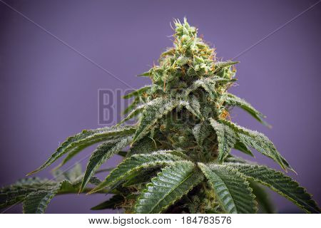 Detail of Cannabis cola (fire creek marijuana strain) with visible hairs and leaves on late flowering stage - isolated over purple background