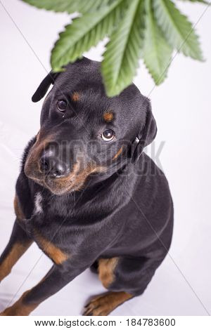 Detail of cannabis leaf and rottweiler dog isolated over white - medical marijuana for pets concept