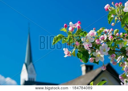 White and pink apple blossoms in Bled Slovenia with spire of St. Martin church on background