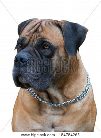 Closeup portrait of a rare breed of dog - South African Boerboel (South African Mastiff) on a white background, isolated