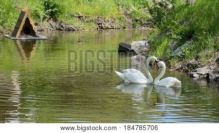 Swan couple swiming in the pond. Their heads and necks make a heart shape.ple swiming in the pond. Their heads and necks make a heart shape.