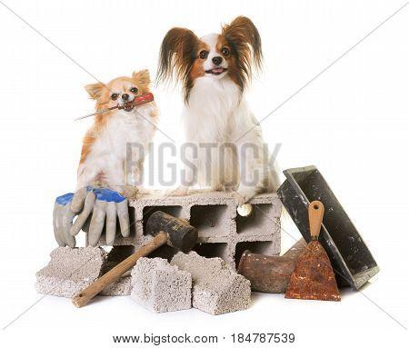 puppy papillon dog chihuahua and masonry in studio