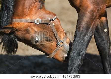 The male horse is scratching its leg close up
