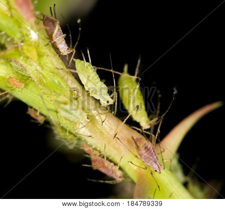 aphids on the plant. close . A photo