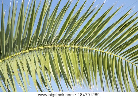 Palm tree branche over a blue sky