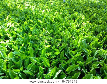 Glade of flowering plants - Lily of the May of the Asparagus family in the period before flowering