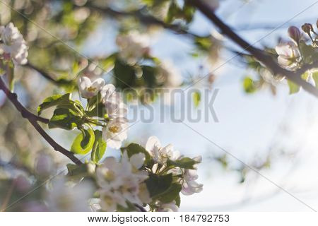 Apple tree blossoms on a sunny day in spring