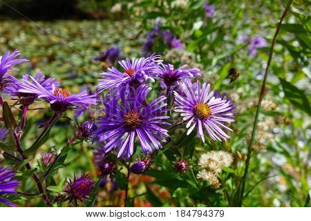 Purple Asters blooming during autumn in Boise, Idaho park.