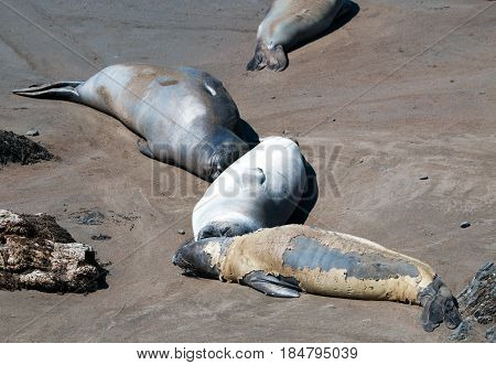 Molting / Shedding Northern Elephant Seal at the Piedras Blancas Elephant Seal colony on the Central Coast of California USA