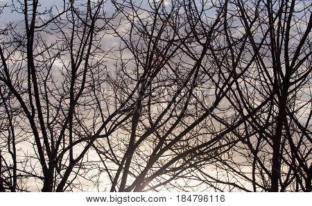 bare tree branches at dawn sun . A photo