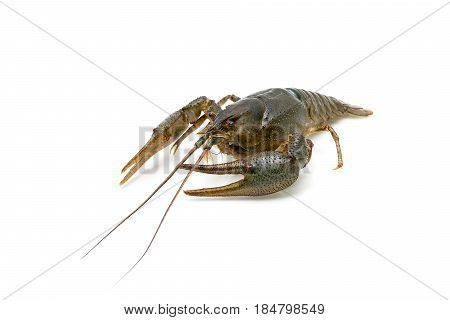Live crayfish isolated on white background close-up. Horizontal photo.