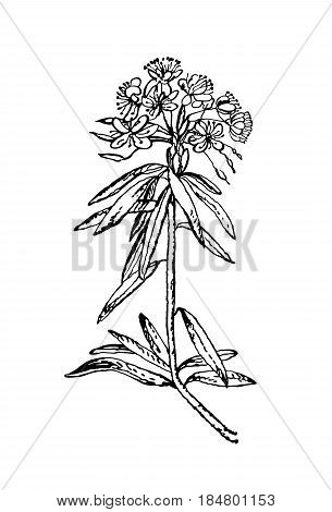 Vector images of medicinal plants. Detailed botanical illustration for your design. Wild Rosemary Rhododendron tomentosum, or Labrador tea. Hand drawn vector illustration