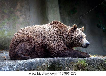 A brown bear male specimen taken out of profile. Bear lying down full figure.