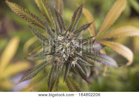 Detail of cannabis cola (Mangopuff marijuana strain) with visible hairs and leaves on late flowering stage - medical marijuana concept