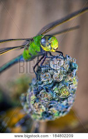 Macro detail of a dragonfly over cannabis bud  - medical marijuana concept