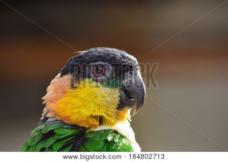 Parrot with green yellow orange and black feathers portrait profile close up view