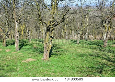 Very old plum orchard in early spring before flowering and leafing with a lot of damaged trees