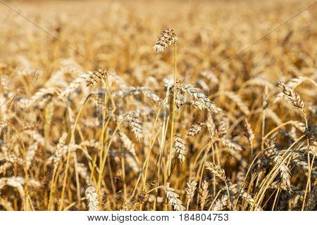 Grain field background, Wheat field.