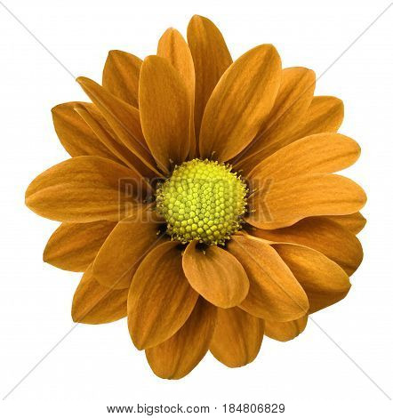 Orange gerbera flower. White isolated background with clipping path. Closeup. no shadows. For design. Nature.