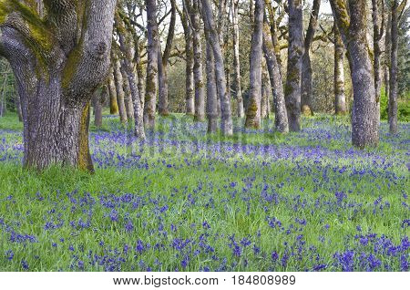Blue Camas wildflowers blooming in the meadow among the oak trees in horizontal position