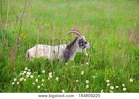 goat on green pasture with daisy flowers