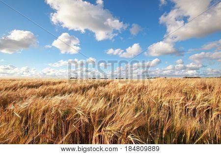 blue sky over wheat field in summer