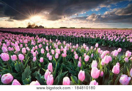 sunshine over pink tulip field in Netherlands