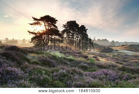 pine trees and heather flowers at misty sunrise