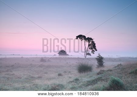 serene misty sunrise on meadow with pine