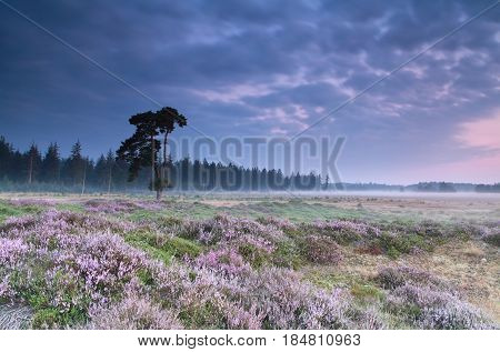 pink flowering heather at serene summer sunrise