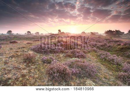 dramatic purple sunrise over pink heathland, Netherlands