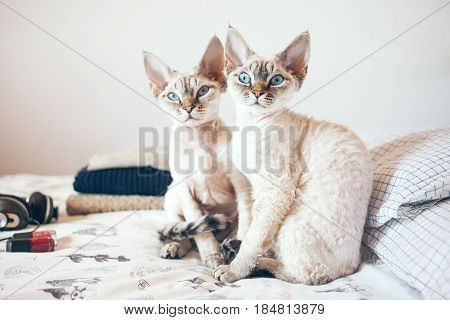 Two adorable cats are sitting on a bed and looking at you. Cat breeds, indoor pet. Cozy home background with funny pets. Two cats is better than one