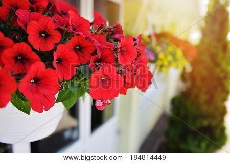 Baskets of hanging petunia flowers on balcony. Petunia flower in ornamental plant.