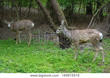 Two deer grazing in a city park at Boise, Idaho.