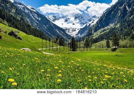 Amazing alpine spring summer landscape with green meadows flowers and snowy peak in the background. Austria Tirol Stillup valley.