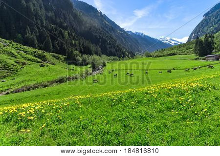 Amazing alpine landscape with bright green meadows and grazing cows. Austria Tirol Stillup valley