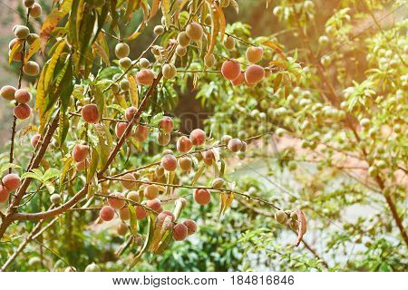 Peaches Grow On Tree