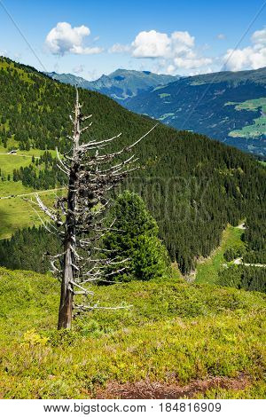 High mountains scenic with dried tree in the foreground. Austria Tirol Zillertal High Road Zillertaler Hoehenstrasse