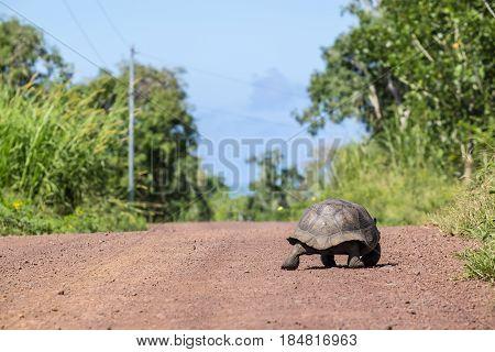 Giant Tortoise Walking on a Dirt Road in Santa Cruz Highlands in the Galapagos Ecuador